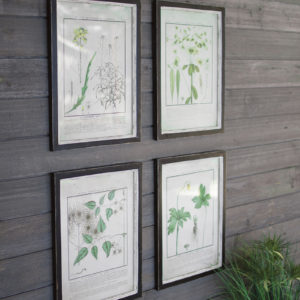 Set Of Four Framed Dandelion Prints Under Glass