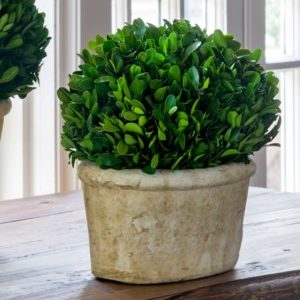 Potted Oval Boxwood Small