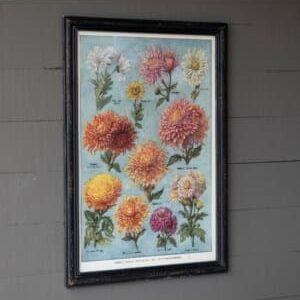 Chrysanthemum Vairieties Chart Framed Print