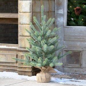 Burlap Wrapped Blue Spruce Seedling with LED Batt. Lights Med